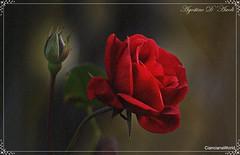 Rosa rossa con bocciolo - Febbraio-2017 (agostinodascoli) Tags: rosa fiori bocciolo nikon nikkor nature macro texture agostinodascoli