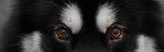 Denzel the Malamute (Wolfhowl) Tags: kawaii dog denzel alaskanmalamute puppy cute malamute