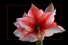 A special kind of amaryllis flower (scorpion (13)) Tags: a special amaryllis flower nature plant frame color creative photoart winter new year experimental