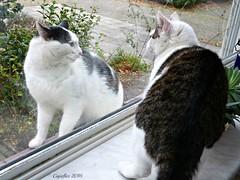 Jasmijn wants to play with a visitor on the windowsill outside (Cajaflez) Tags: kat katze chat gatto huisdier vensterbank windowsill jasmijn