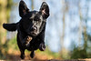 Airborne (Marcus Legg) Tags: marcuslegg max blacklabradorretriever labrador lab woodland woods airborne flying flight dog pet action canon eos 1dx ef70200mmf28lisii outdoors forest animal bokeh ears