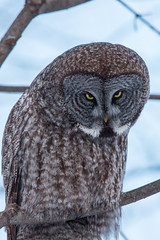 Great Gray Owl (fsong) Tags: great gray owl