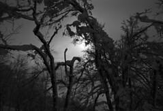 Woods of Kamui (threepinner) Tags: kamuiskilinks asahikawa hokkaidou hokkaido northernjapan fukagawa japan winter woods forest pentax mzm pentaxm 28mm f35 kodak microfilm imagelink hq selfdeveloped mtkamui mountainsnaps