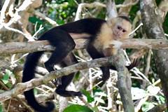 white faced monkey in costa rica #costarica #costarica2017 #vacation #winterbreak #photography #nikond3100 #twofacedmonkey #adorable #nature #naturephotography (brinksphotos) Tags: costarica costarica2017 vacation winterbreak photography nikond3100 twofacedmonkey adorable nature naturephotography