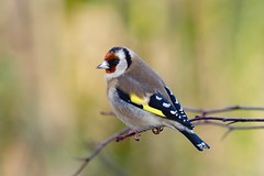 Goldfinch.... (klythawk) Tags: goldfinch cardueliscarduelis bird wildlife branch nature winter yellow green red brown black white olympus em1mkll omd 300mm 14xtc calkeabbey nationaltrust ticknall derbyshire klythawk