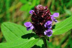 Fleur (OlivierGa) Tags: hautesavoie servoz leshouches château saintmichel macro fleur