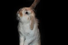 Bonnieblack (tamaradrijver) Tags: bonnie bunny rabbit pet animal animals tier tiere