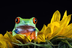 Red-eyed+tree+frog