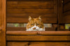 Stern Look (Ben Duursma) Tags: cat ginger white garden furniture feline pet pets cats stern look face ears fluffly portrait nikon d7000 ben duursma youngphotographers eyes orange cute furry photography