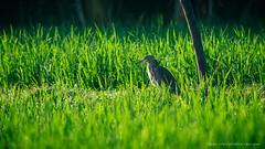 Javan Pond Heron (Ardeola speciosa) (Luqman Agung W) Tags: bird burung animal binatang sawah heron birding