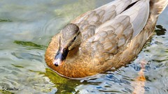Floater (Suzanham) Tags: duck bird water floating paddling bill quack feathers florida everglades waterfowl aquaticbird fowl game animal nature wildlife