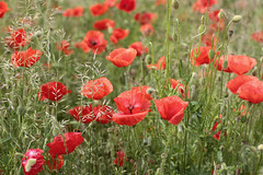 """I need warmth today, it""""s so cold outside. (mennomenno.) Tags: bloemen klaprozen poppies zomer summer"""