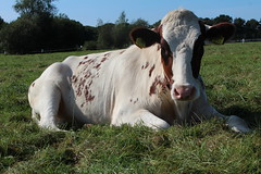 Olympic Kindness Red (excellentzebu1050) Tags: 2016septheiferscowszebus cow cattle heifer dairycows livestock animails farm animal closeup outdoor field coth5