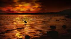 My Surprise Visitor (JDS Fine Art & Fashion Photography) Tags: ocean egret bird golden sunset beach sea clouds sky inspirational