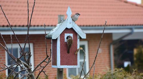 Skovspurve, Tree Sparrow, Feldsperling, Passer montanus (2 of 2)