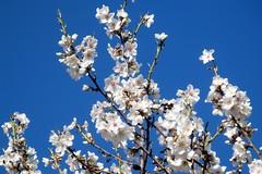 Comienzan a florecer (Eduardo OrtÍn) Tags: flores arbol almendro cielo floración contraste