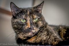 Boo Boo (MarkNelsonJr84) Tags: summer orange white black female cat 35mm nikon adult colored format tri tortise dx 2015 d7100 d3000 cropsensor d3300