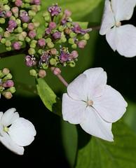 Hortensie / Hydrangea aspera (HEN-Magonza) Tags: flowers nature flora natur blossoms blumen hydrangea blüten hortensie hortensia macrophylla gartenhortensie botanischergartenmainz mainzbotanicalgardens