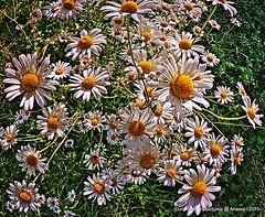 RememberWhen,the Summerflowers,Groningen stad,the Netherlands,Europe (Aheroy) Tags: summer nature different wildflowers marguerite groningen flowerpower bloemen rememberwhen oxeyedaisy leucanthemumvulgare groningenstad flickrfriday whitedaisy fielddaisy moondaisy margrieten whiteweed aheroy aheroyal