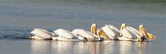 Raft of Pelicans (Wayne Nelson) Tags: pelicans waterbirds horiconmarshnwr
