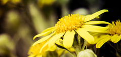 Sunny Side Up (Explored 2/7/15) (Limes Wright) Tags: plant flower macro outdoor depthoffield yellowflower