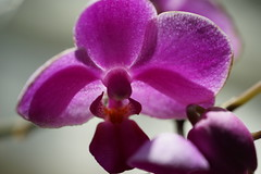 Orchid (ddsnet) Tags: plant orchid flower home sony resolution   ilc     7r  mirrorless interchangeablelenscamera 7r ilce7r