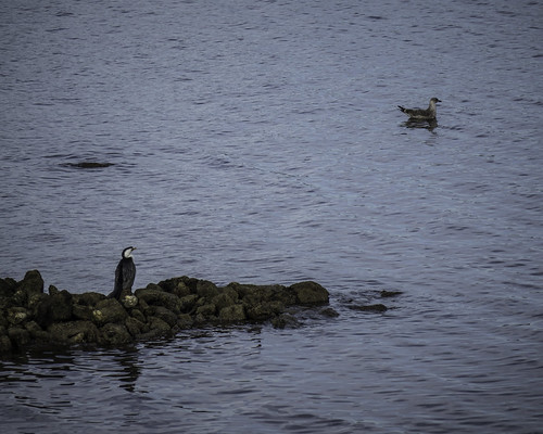 Shag on a rock #2, Geilston Bay