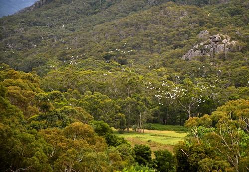 Cockatoos, The Grampians, Victoria, Australia