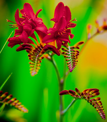 Full on colour (faranorclarke) Tags: flowers red summer flower colour green floral gardens scarlet garden saturated nikon colorful petal saturation 28 tamron vignetting crocosmia lightroom justforfun beddington crocosmialucifer vignet beddingtonpark hackbridge d7100