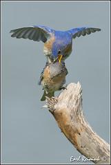 one for the road (Earl Reinink) Tags: blue bird photography nikon flickr earl bluebird easternbluebird birdphotography earlreinink reinink dodtididoa