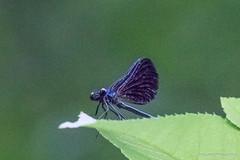20150701-_N9A8886.jpg (whereamihere) Tags: places damselflies ebonyjewelwing insectsandspiders okehocking 712015part2
