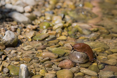 Taking a bath (Madhr0013) Tags: water animal schweiz outdoor stones pebble slug 2015 canonef24105mmf4lisusm canoneos6d