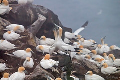 Cross Canada Road Trip (Nfld) (R Hardy) Tags: newfoundland northerngannet birdrock capestmarysecologicalreserve