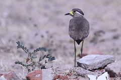 Yellow-wattled Lapwing - Vanellus malabaricus (Roger Wasley) Tags: yellow wattled lapwing vanellus malabaricus great rann kutch gujarat india bird indian asia endemic subcontinent