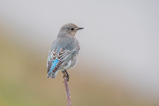 Mountain Bluebird female