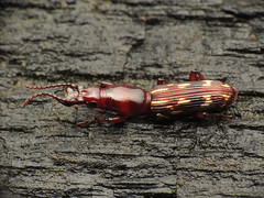 Oak Timberworm (treegrow) Tags: washingtondc rockcreekpark lifeonearth nature canonpowershotsx40hs raynoxdcr250 arthropoda insect beetle coleoptera arrhenodesminutus taxonomy:binomial=arrhenodesminutus brentidae
