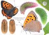 Small Copper life history (Franziska Bauer) Tags: lycaenaphlaeas kleinerfeuerfalter lycaenidae bläulinge lepidoptera metamorphose lifehostory raupe puppe falter schmetterlinge caterpillar pupa butterfly