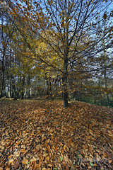 faggi, beeches (paolo.gislimberti) Tags: parchiurbani urbanparks wood bosco alberi trees foglie leaves autunno autumn autumnalcolors coloriautunnali sottobosco undergrowth paesaggi landscapes