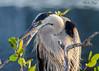 Great Blue Heron (dbking2162) Tags: birds bird greatblueheron blue heron egrets wildlife water wading shore swallow green animal nature nationalgeographic fortmyersbeach florida