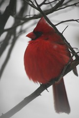 All Puffed Out (eyriel) Tags: bird male cardinal red winter cold nature wildlife natural