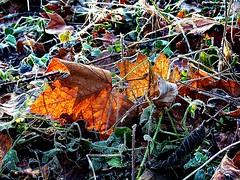 2016-12-30 secret wood (145)dead leaves (april-mo) Tags: secretwood wood frost frosted white hoar gel winter hiver bois cold leaf deadleaves