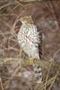 Juvenile Coopers Hawk (tresed47) Tags: 2017 201701jan 20170110bombayhookbirds birds bombayhook canon7d content coopershawk delaware folder hawk peterscamera petersphotos places takenby us