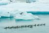 Follow the leader (webeagle12) Tags: nikon d7200 europe landscape vatnajokull national park iceberg ice glacier lake southeast iceland lagoon breiðamerkurjökull jökulsárlón birds