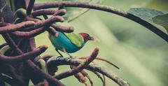 tangara_cabecirufa (mamonto_70) Tags: cocorna antioquia colombia suramerica orienteantioqueño biodiversidad naturaleza nikond90 2017 tangaragyrola aves birds ornitologia yarumos inexplore