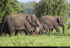 Elephants, Minneriya NP, Sri Lanka (JH_1982) Tags: elephants elephant animal widlife tiere elefant elefanten elefante éléphant 象 ゾウ 코끼리 слоновые हाथी فيل අලි யானை fil ช้าง family group walking eating minneriya np national park nationalpark parque nacional parc parco nazionale nature landscape sri lanka ශ්‍රී ලංකා இலங்கை 斯里蘭卡 スリランカ 스리랑카 шриланка سريلانكا श्रीलंका ประเทศศรีลังกา