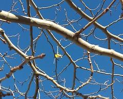 The last one. (aliciap.clausell) Tags: arbol tree hoja invierno winter ramas tronco azul blue cielo sky aliciapclausell