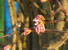 Spring? (Elisa1880) Tags: spring roze takken bloemen flowers rijswijk