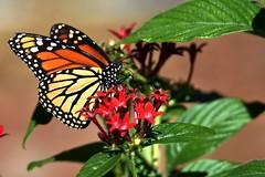 Monarch Butterfly (Danaus plexippus)  DSC_5320 (blthornburgh) Tags: tampa florida thornburgh butterfly backyard insect flyinginsect flower monarchdanausplexippus monarch milkweedbutterfly pattern penta commontigerbutterfly blackveinedbutterfly closeup january nature