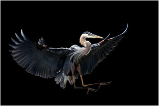 In Explore... Great Blue Heron