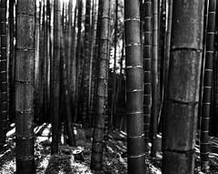 Bamboo (* Daniel *) Tags: polaroid polaroid110a polaroidlandcamera markdaniel markdanielphotocom mono monochrome ilford ilfordid11 id11 ilfordfp4 ilfordfp4plus ilfordfp4plussheetfilm sheetfilm 100asa asa100 japan kyoto bamboo film filmgrain ysarex ysarex127mm ysarex127mmf47 convertedpolaroid 5x4 filmdev:recipe=11172 ilfordfp4125 film:brand=ilford film:name=ilfordfp4125 film:iso=80 developer:brand=ilford developer:name=ilfordid11